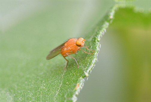 Lazy Fly, Fly, Fly Orange, Insect, Orange, Animal