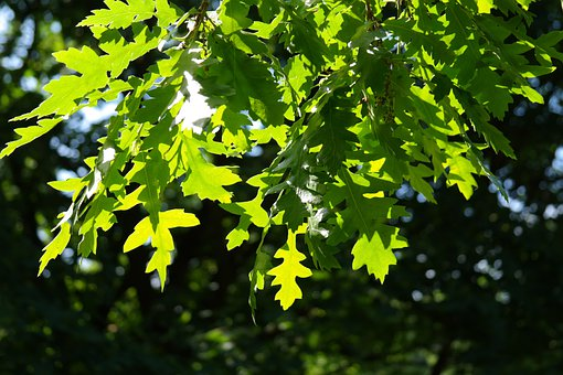Leaf, Green, Back Light, Shine Through, Light Green