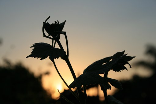 Leaves, Lobed, Vine, Grape, Silhouette, Serrated