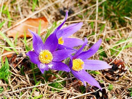 Pasque Flower, Flower, Purple, Pasqueflower, Plant