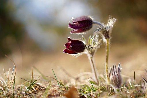 Pasqueflower, Pasque Flower, Pulsatilla Vulgaris, Plant