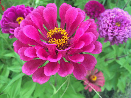 Flowers, Dahlia, Red, Madder Red, Pink, Red Purple