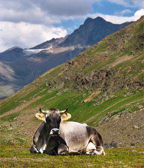 Cow, The Alps, Rest, Rumination, Rocks, Landscape