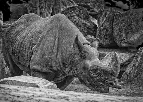 Rhino, Safari, Animal World, Pachyderm, Horn