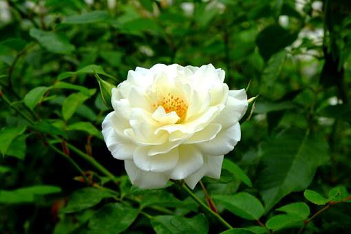 Rose, White Rose, White, Flower, Blossom, Bloom