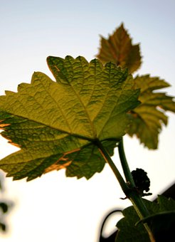 Leaves, Lobed, Vine, Grape, Green, Serrated, Branch