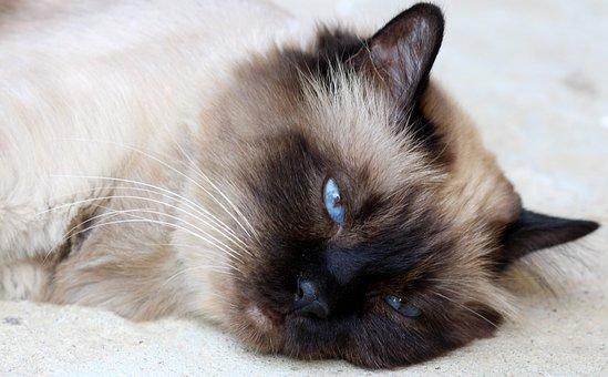 Cat, Burmese, Tired, Lazy