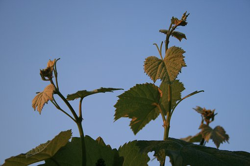Leaves, Young, Lobed, Vine, Grape, Green, Serrated