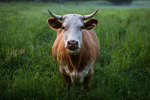 Animal, Animal Photography, Cattle, Close-up, Cow