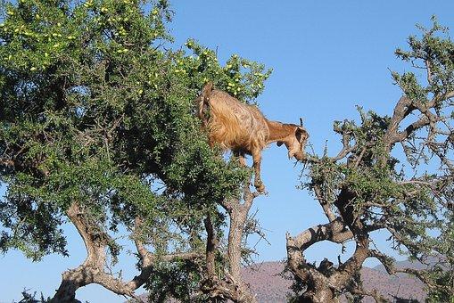 Morocco, Goat, Argan, Argan Oil, Cosmetic