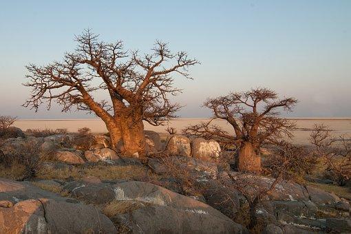 Botswana, Baobab
