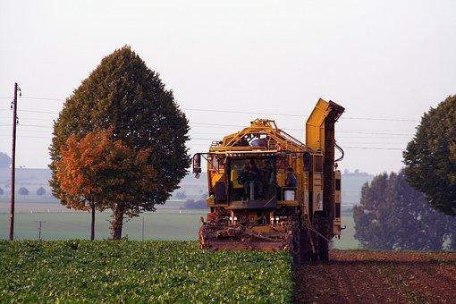 Beets, Sugar Beet, Harvest, Turnip, Beet Diggers