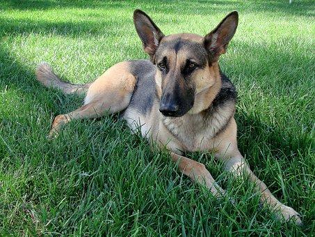 Dog, German Shepherd, Pet, Canine, Domestic, Mammal