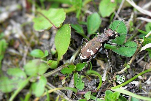 Beetle, Insect, Dune - Sand Ground Beetles, Macro