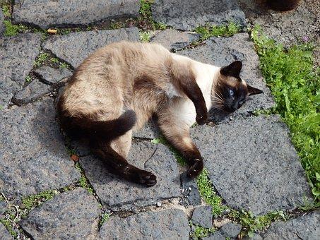 Siamese Cat, Cat, Eyes, Blue, Fur, Brown, Sand Color