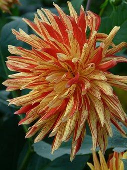 Dahlia Garden, Blossom, Bloom, Flower, Fiery, Red