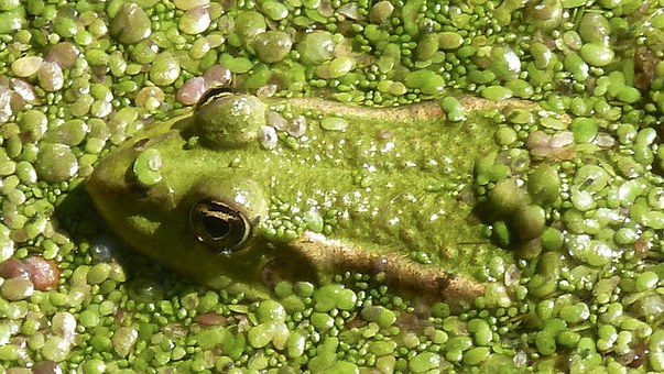 Frog, Toad, Nature, Animal, High, Water, Close, Pond