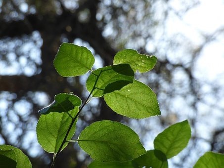 Leaf, Plant, Bouquet, Against Light, Green, Tree, Light