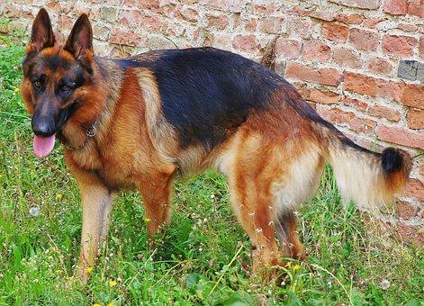 German Shepherd, Dog, Canine, Domestic, Mammal