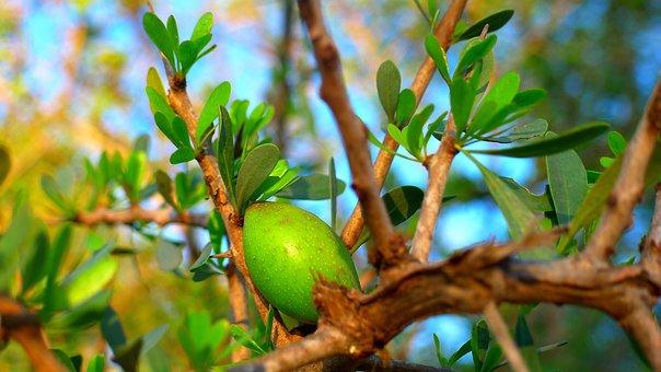 Argan, Fruit, Oil, Cosmetic, Morocco, Tree