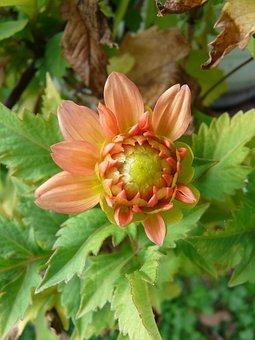 Garden Dahlia, Orange, Flower, Button, Bud, Blossom