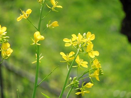 Rape Blossoms, Spring, Plant, Landscape, Yellow, Japan