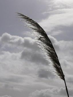 Reed, Marsh, Wind, Clouds, Sky, Cloudy Sky, Nature