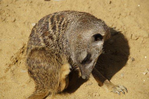Meerkat, Scratch, Cute, Animal World, Sand, Zoo, Dry
