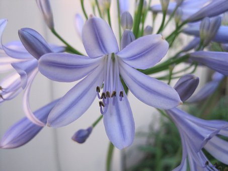 Agapanthus Flower, Blue-purple, Delicate Color