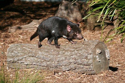 Tasmanian Devil, Australian, Wildlife
