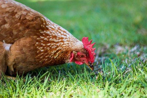 Hen, Chicken, Livestock, Poultry, Bird, Farming, Farm