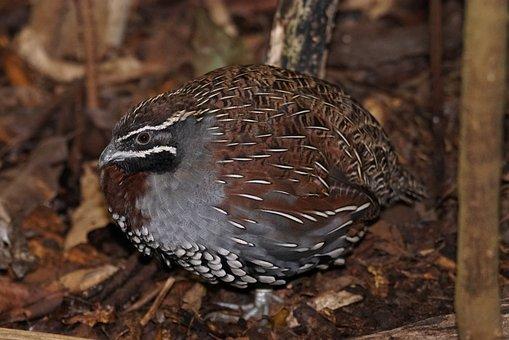 Bird, Madagascar Perlwachtel, Chicken