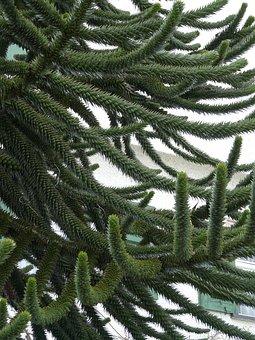 Araucana, Fir Tree, Tree, Branch, Branches, Araucaria