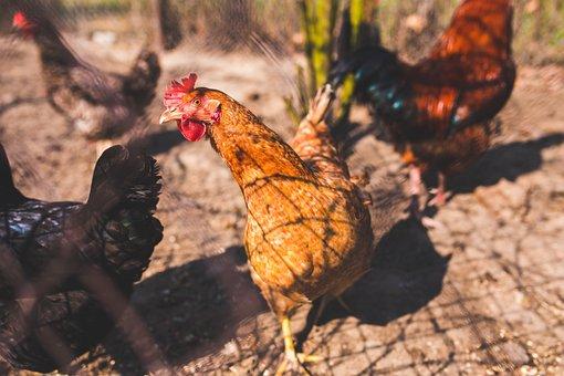 Chicken, Chickens, Free Range, Natural, Eco, Eko