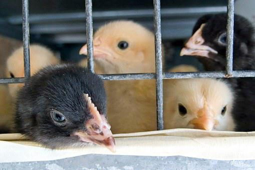 Cage, Chicks, Babies, Yellow, Black, Beak, Chicken
