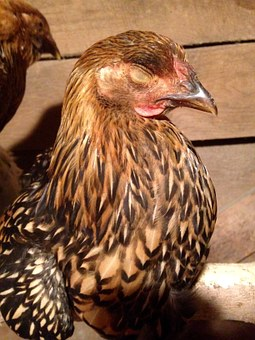 Sleeping, Chicken, Cute, Agriculture, Poultry, Young