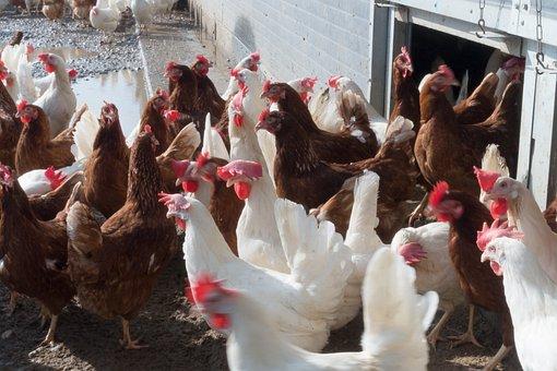 Chicken, Hen, Factory Farming, Free Running