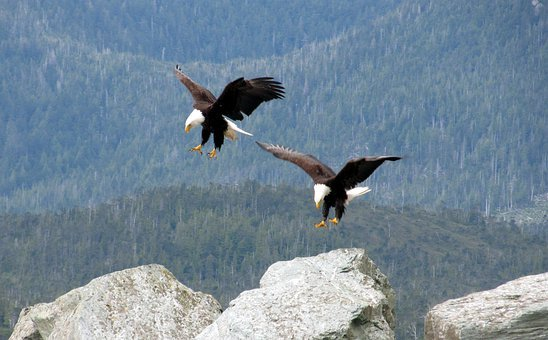 Bald, Eagles, Flying, Birds, Landing, Flight, White