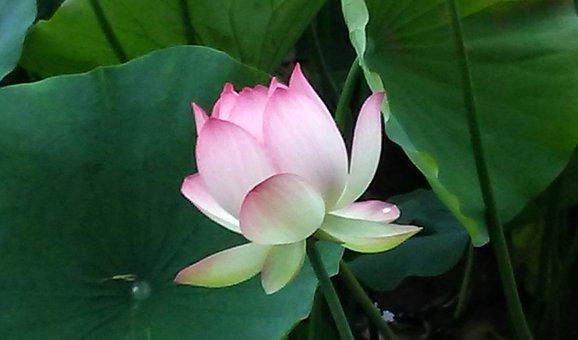 Echo Park, Lotus, Lotus Flower, Green Park