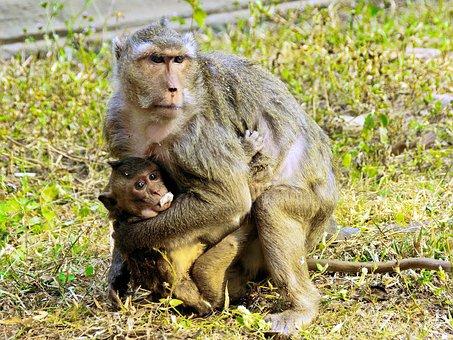 Cambodia, Angkor, Monkey, Family, Maternity, Protection