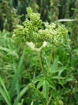 Filipendula Ulmaria, Meadowsweet, Mead Wort