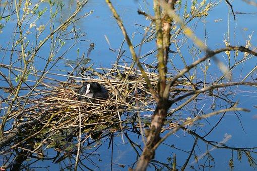 Nature, Water, Water Bird, Pless Chicken, Nesting Place