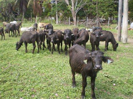 Buffalo, Marajoara, Pará