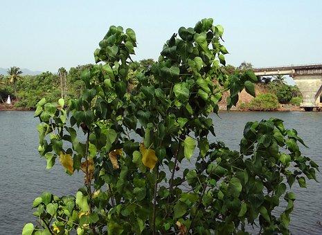 Indian Tulip, Tree, Portia Tree, Paras Pipal