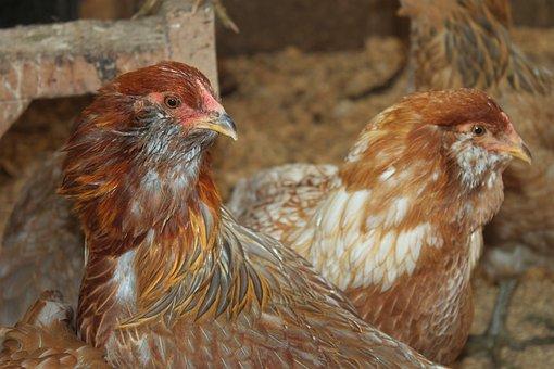 Chicken, Ameraucuna, Farm, Animal, Bird, Muff, Pretty