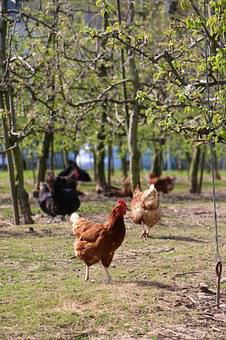 Outdoor, Chickens, Spout, Food Empire, Healthy
