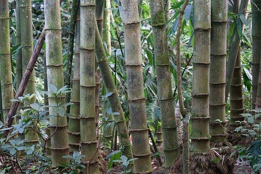 Bamboo, Bambusoideae, Rhizome, Sweet Grass, Tree, Green