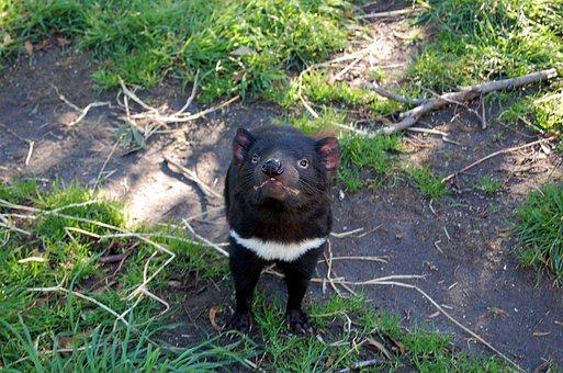 Tasmanian Devil, Tasmania, Animal, Endangered