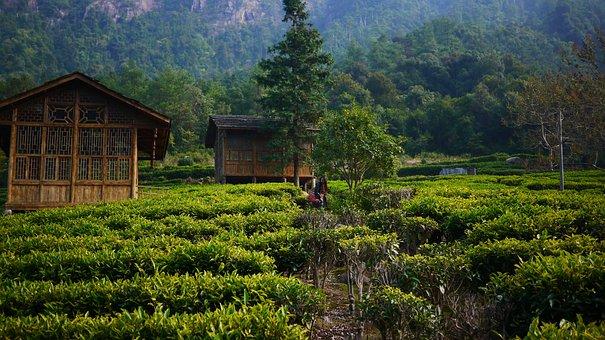 Tea Garden, Hillside, Tea House