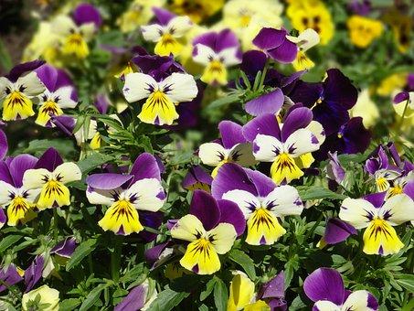 Violets, Flowers, Pridoda